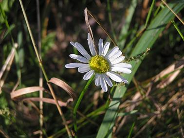 Aif_daisy